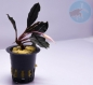Mobile Preview: bucephalandra sp. Pink Lady aufsitzerpflanzen im aquarium