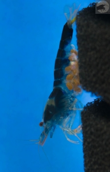 Caridina sp. Dragon blood