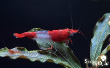 SKYFISH Red Rili