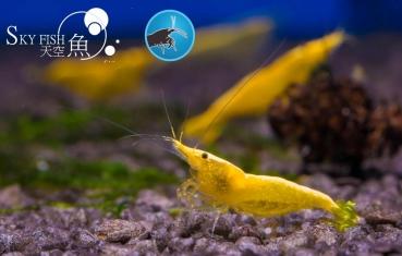 skyfish garnelen zwerggarnelen bequem online bestellen shrimp shop. Black Bedroom Furniture Sets. Home Design Ideas