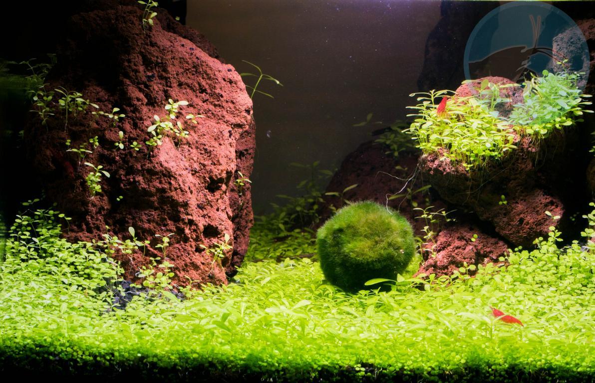 Bacopa Samen Dry Start Samen Um Einen Bodendecker Shrimp Shop