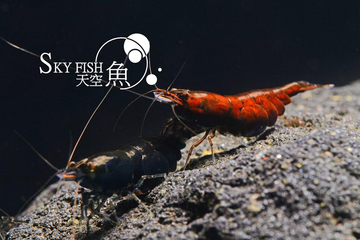 skyfish red onyx shrimp
